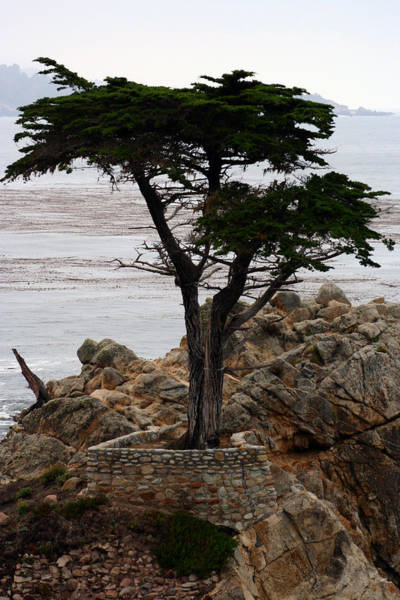 Photograph - Lone Cypress by Susie Weaver
