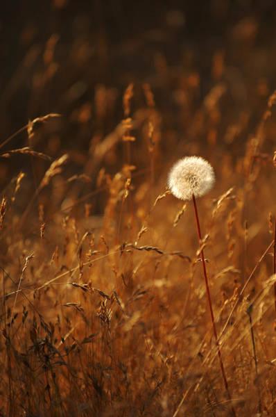 Photograph - Lone Dandelion by Jill Reger