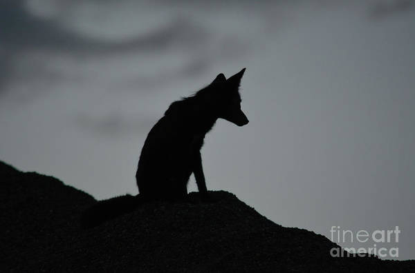 Photograph - Lone Fox by Vivian Martin