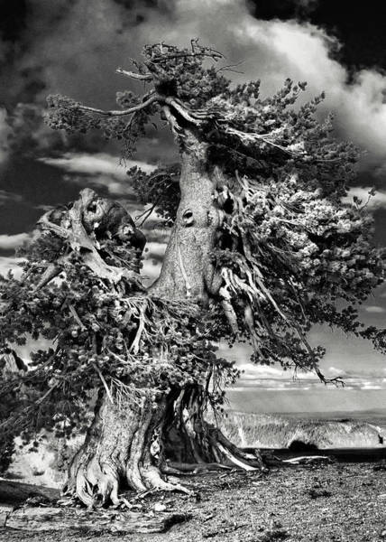 Timberline Photograph - Lone Gnarled Old Bristlecone Pines At Crater Lake - Oregon by Christine Till