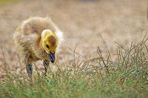 Gosling Photograph - Lone Gosling by Sharon Talson