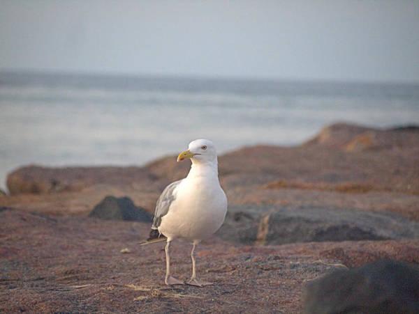 Photograph - Lone Gull by  Newwwman
