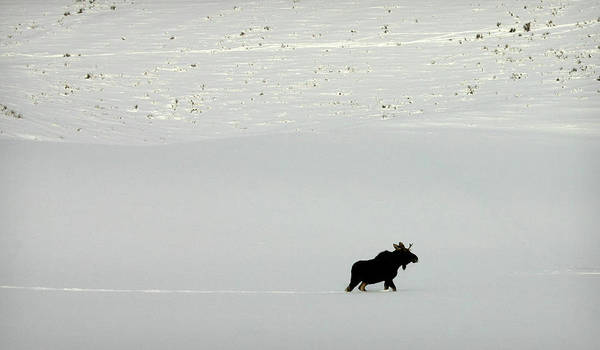 Photograph - Lone Moose by Patricia Montgomery