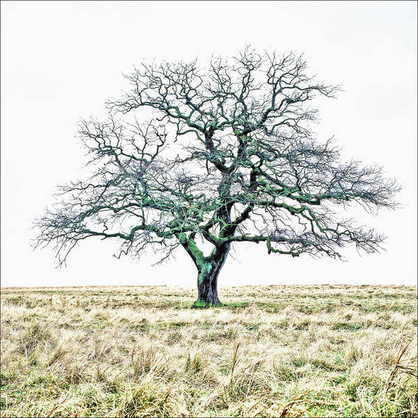 Photograph - Lone Old Oak Hdr 2 by Kim Lessel