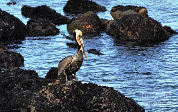 Photograph - Lone Pelican On Rocks by Susan Wiedmann