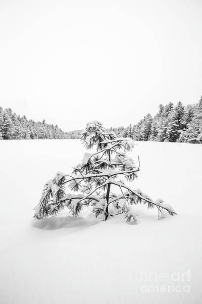 Wall Art - Photograph - Lone Pine Tree Anderson Pond Eastman New Hampshire by Edward Fielding