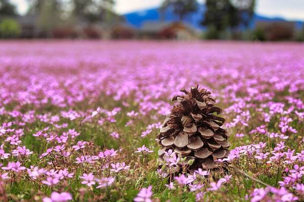 Photograph - Pinecone In Pink by Brian Eberly