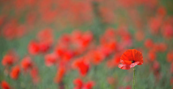 Photograph - Lone Poppy Clarity by Peter Walkden