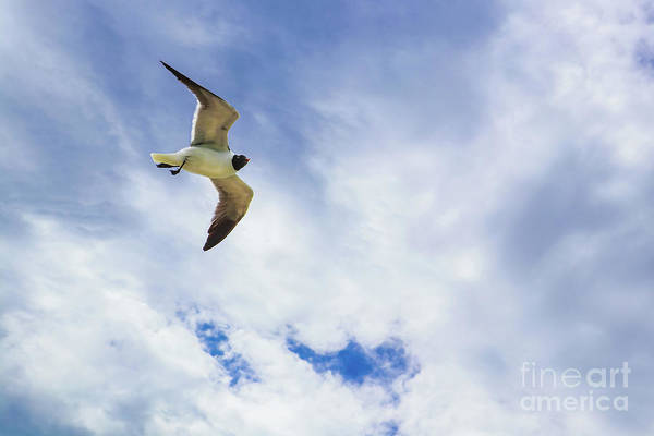 Photograph - Lone Seagull Glides Against Cloudy Sky by Susan Vineyard