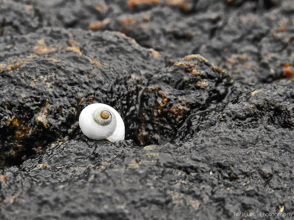 Photograph - Lone Seashell by Teri Ridlon
