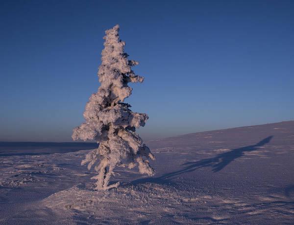 Photograph - Lone Spruce by Ian Johnson