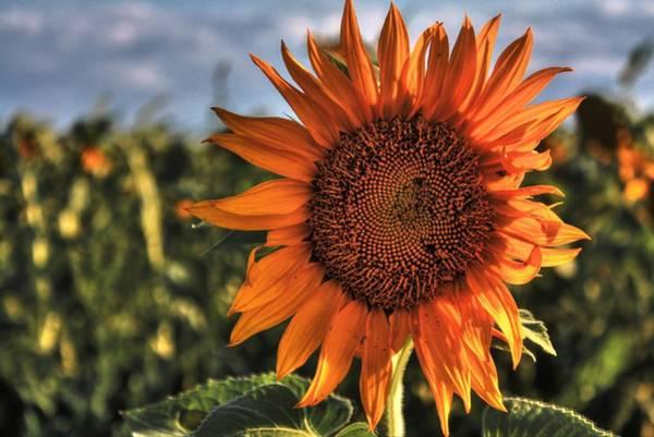 Photograph - Lone Sunflower by David Matthews