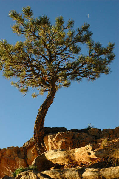 Lone Tree And Moon In Bryce Canyon Art Print