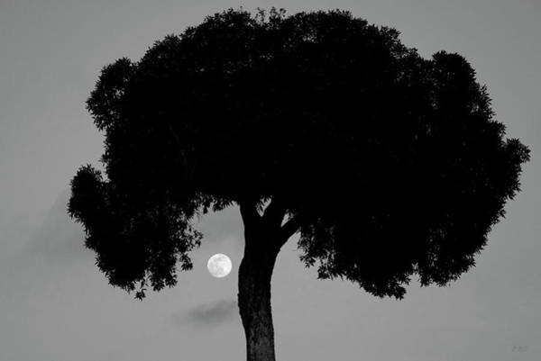 Photograph - Lone Tree And Rising Moon Bw by David Gordon