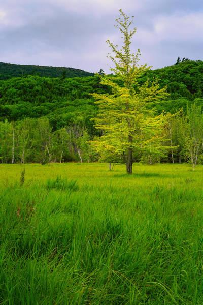 Photograph - Lone Tree Sieur De Mont Woodland Acadia by Jeff Sinon