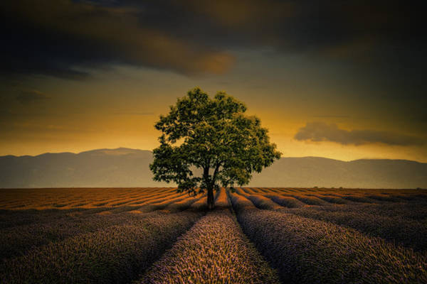 Nature Photograph - Lone Tree Valensole by Alexander Hill