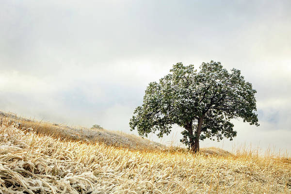 Photograph - Lone Wasatch Oak by Johnny Adolphson