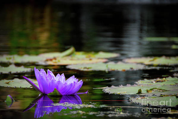 Water Lillies Photograph - Lone Water Lilly by Paul Quinn
