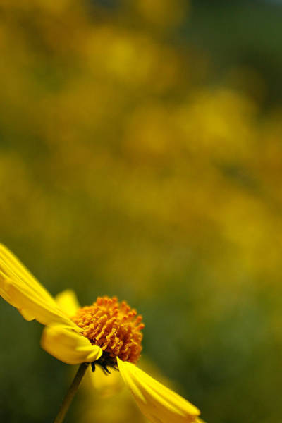Photograph - Lone Wildflower - Yellow by Jill Reger