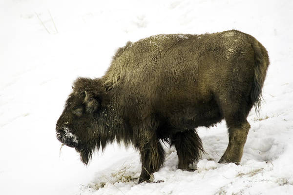 Photograph - Lone Winter Buffalo Eating by Craig J Satterlee