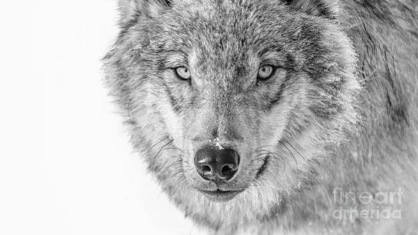 Timberwolves Photograph - Lone Wolf by Heather Swan