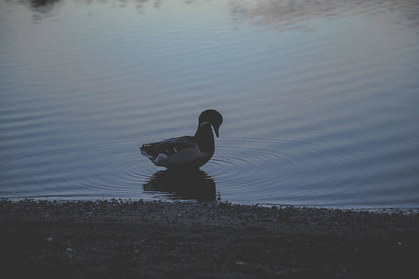 Fairness Wall Art - Photograph - Lonely Duck With Reflection In The Night by Aldona Pivoriene