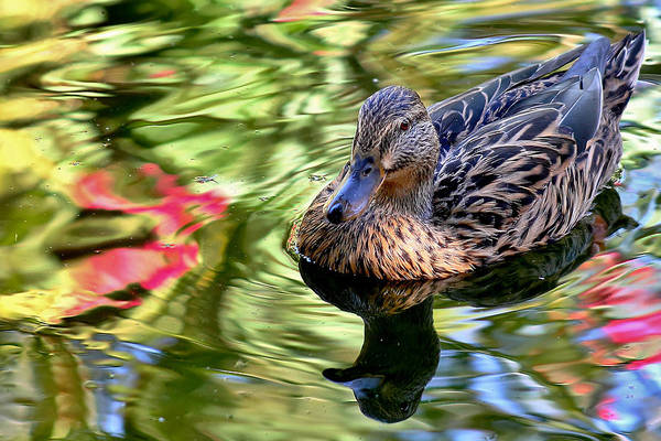 Photograph - Lonely Duckie by Elaine Malott