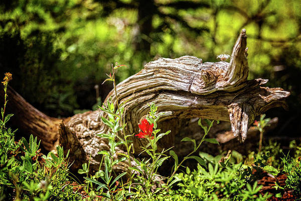 Photograph - Lonely Indian Paintbrush by Franz Zarda