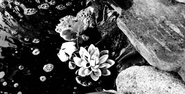 Photograph - Lonely Lotus In Black And White by Christine Paris