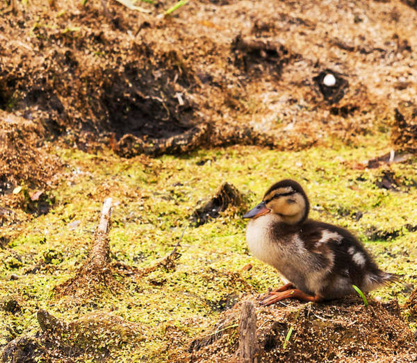 Photograph - Lonely Mallard Duckling by Edward Peterson