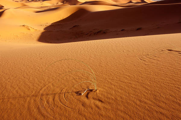 Photograph - Lonely Plant In Desert by Aivar Mikko