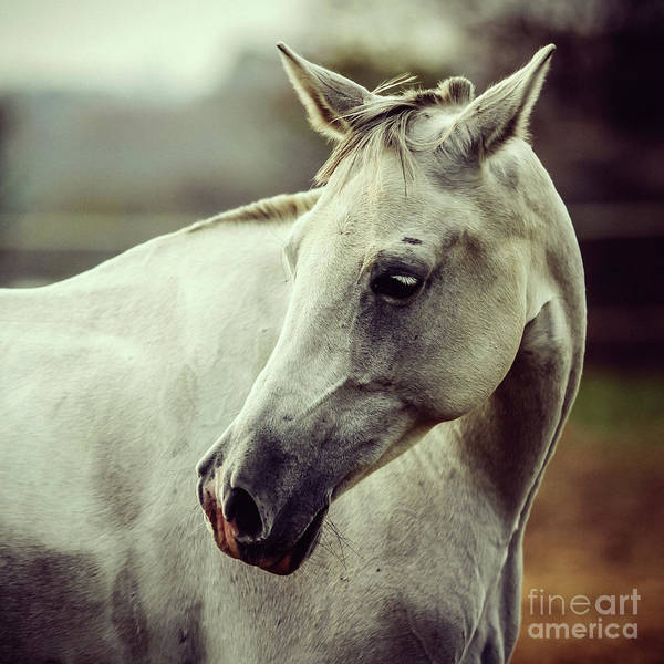Photograph - White Horse Close Up Vintage Colors Portrait by Dimitar Hristov