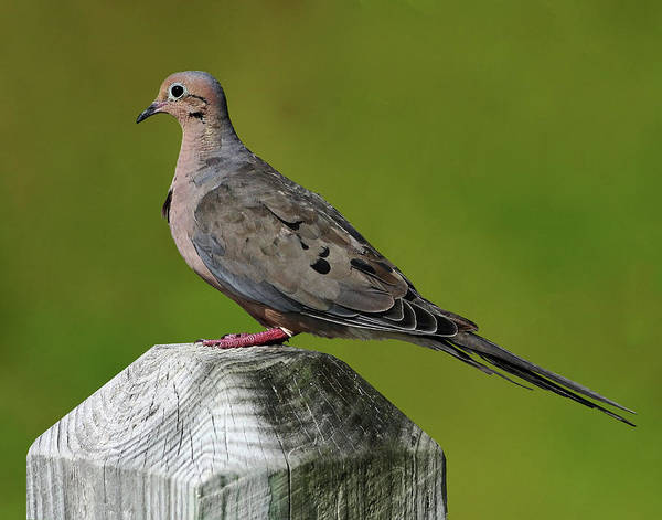 Photograph - Lonesome Dove by Dawn Currie