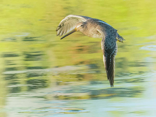 Photograph - Long-billed Dowitcher 4799-091917-1cr by Tam Ryan