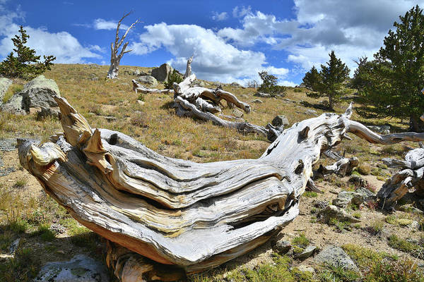 Photograph - Long Bow Bristlecone by Ray Mathis