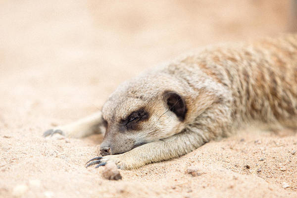 Long Day In Meerkat Village Art Print