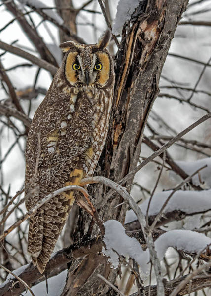 Photograph - Long Eared Owl In Snow by Dawn Key