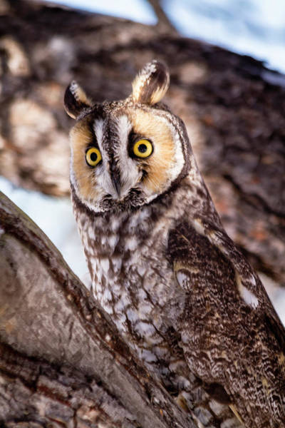 Photograph - Long Eared Owl In Winter Setting by Teri Virbickis