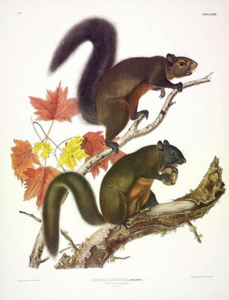 Wall Art - Painting - Long-haired Squirrel by John James Audubon