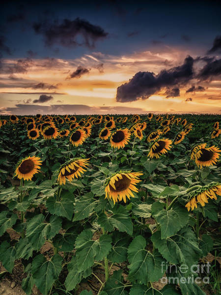 Photograph - Long Island Sunflower Sunset by Alissa Beth Photography