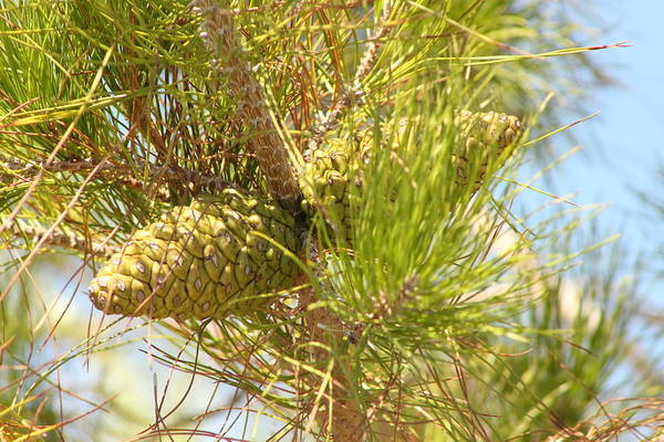 Photograph - Long Needled Pine 2 by Colleen Cornelius