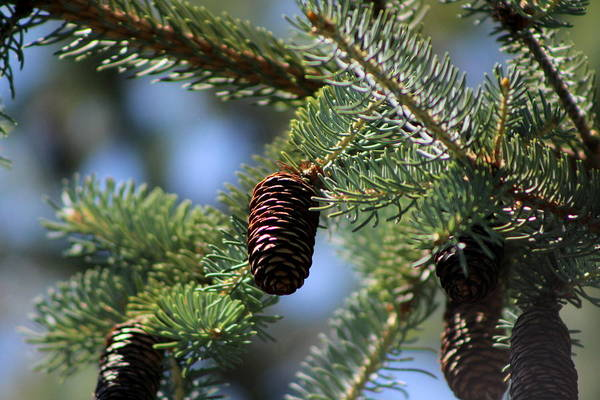 Photograph - Long Pinecones On Calliste Green by Colleen Cornelius