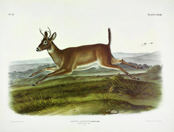 Wall Art - Painting - Long-tailed Deer by John James Audubon