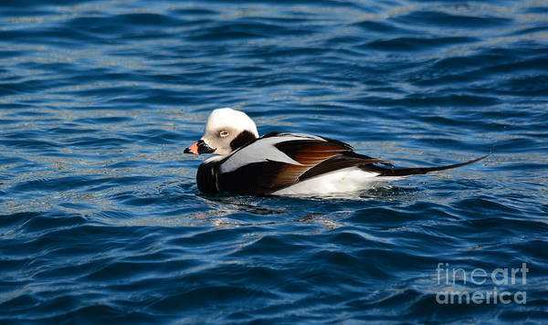 Photograph - Long-tailed Duck by Charles Owens