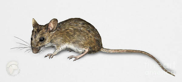 Painting - Long Tailed Field Mouse Apodemus Sylvaticus - Wood Mouse - Moulo by Urft Valley Art