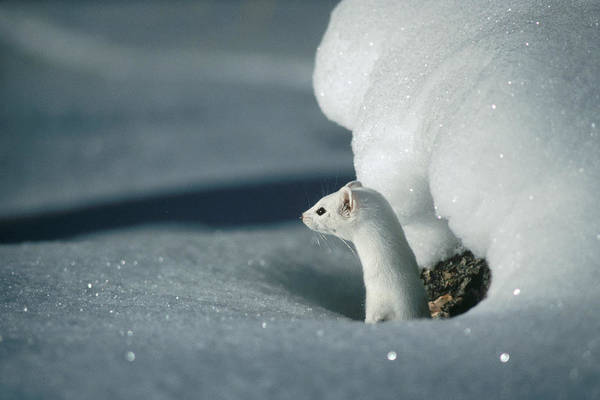 Photograph - Long-tailed Weasel Mustela Frenata by Michael Quinton
