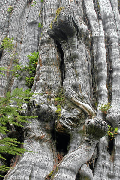 Photograph - Long Views - Giant Western Red Cedar Olympic National Park Wa by Christine Till