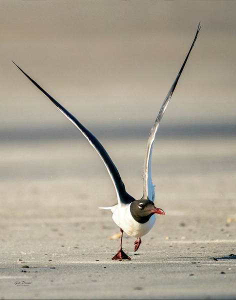 Photograph - Long Wings Of The Laughing Gull by Judi Dressler