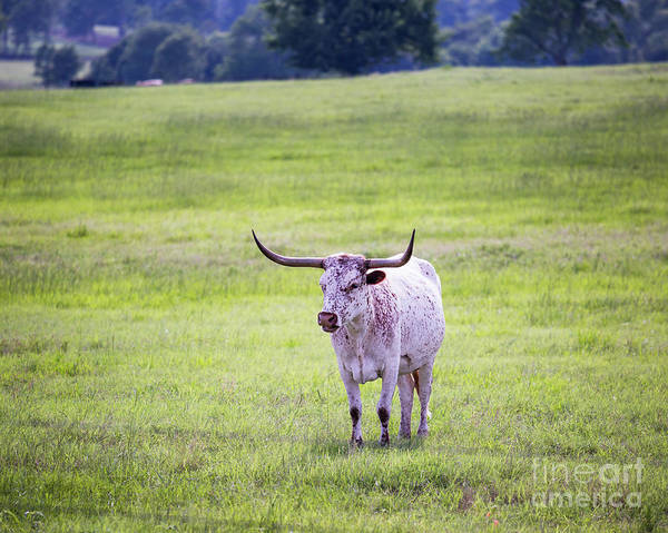 Photograph - Longhorn 2 by Anthony Bonafede