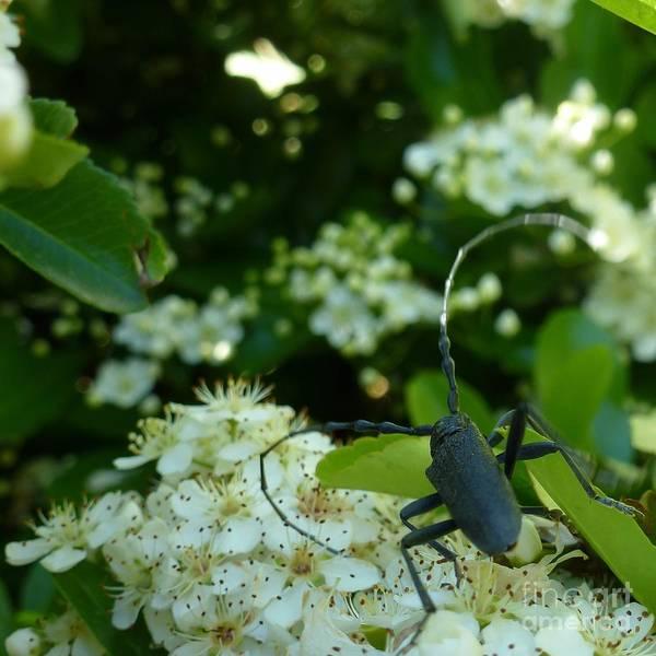 Photograph - Longhorn Beetle 2 by Jean Bernard Roussilhe